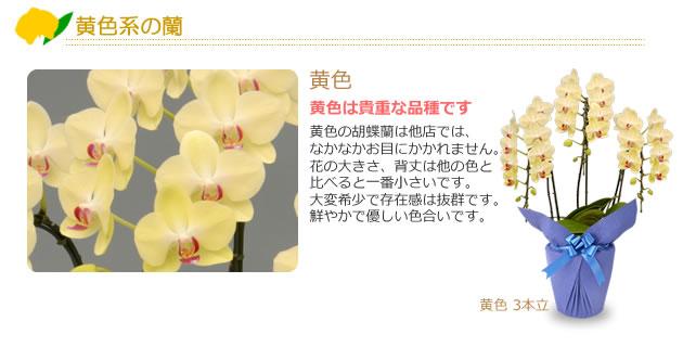 黄色系の蘭